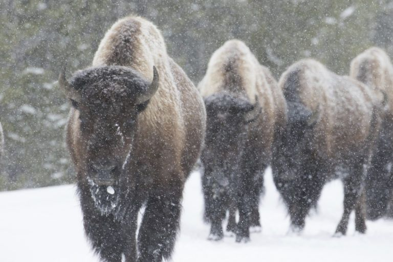 four bison walk toward the camera, obscured by dense falling snow. forest in the background. yellowstone national park.