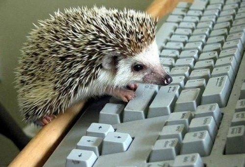 hedgehog-at-computer