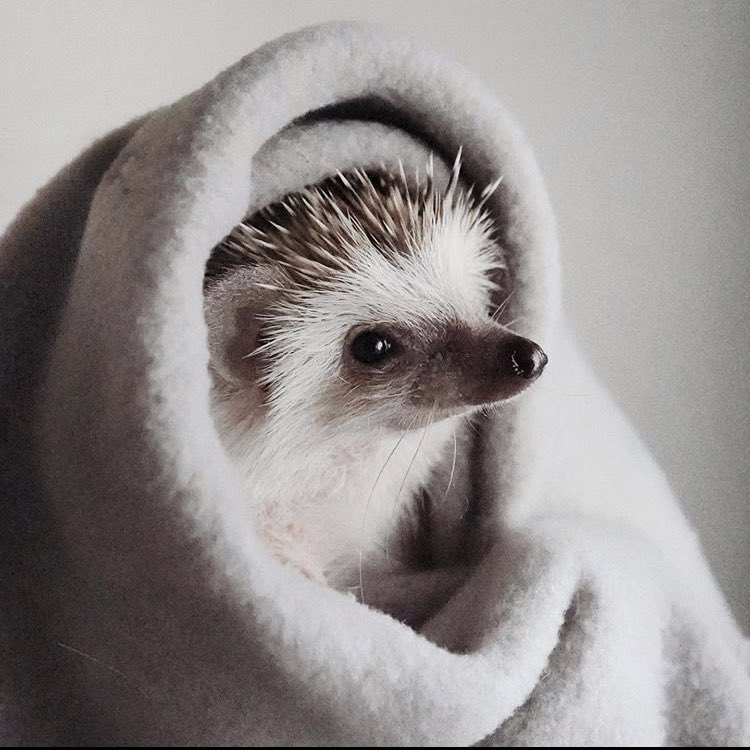 hedgehog-daily-hedgehog